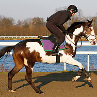 The unusually coloured racehorse Modern Society, trained by Andrew Reid doing a stalls test at Kempton Park