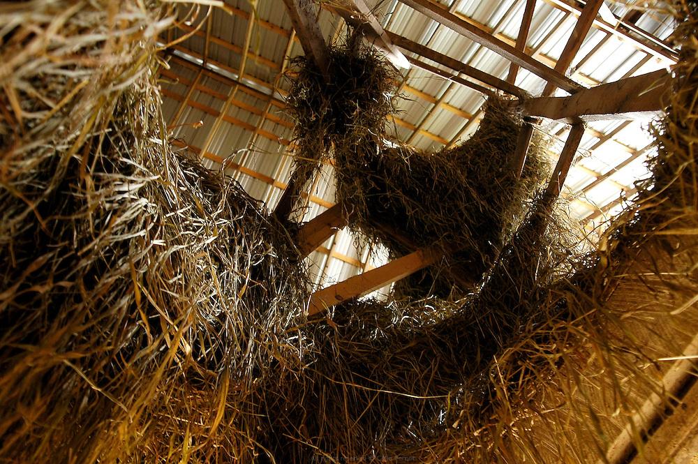 Grange &agrave; foin. Les Petersheim, install&eacute;s comt&eacute; de Clark depuis quatre g&eacute;n&eacute;rations, ont onze enfants de 5 &agrave; 23 ans. Pendant l'&eacute;t&eacute;, alors qu'il n'y a pas &eacute;cole, tous prennent part aux activit&eacute;s quotidiennes de la ferme et des r&eacute;coltes. Sur leur exploitation de 162 hectares, la taille moyenne d'une ferme Amish, ils cultivent de l'avoine, du bl&eacute;, du ma&iuml;s, du soja, du sorgo et du millet en suivant des techniques &eacute;cologiques traditionnelles. Ils ont &eacute;galement 40 chevaux, 25 vaches et un petit &eacute;levage de poules et cochons.<br /> <br /> Cattle barn. The Petersheim, established in Clark county since four generations, have eleven children from 5 to 23 years old. During the summer, whereas the school is closed, all take part in the daily activities of the farm and with harvests. On their exploitation of 162 hectares, average size of an Amish farm, they cultivate oat, wheat, corn, soy beens, sorgo and millet following ecological techniques. They also have 40 horses, 25 cows and a small breeding of hen and pigs.