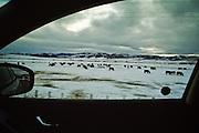 Cattle graze in snow near Jackson, WY.
