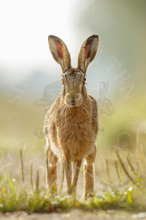 European Hare (Lepus europaeus) adult on farm track, South Norfolk, UK. August.