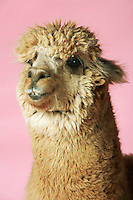 Alpaca on pink background close-up of head