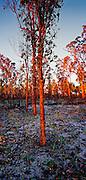 Regrowth after bushfire - Australia