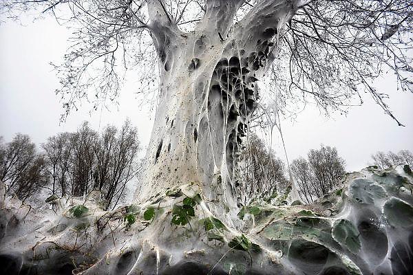 Nederland, Nijmegen, 2-6-2008Stippelmotrupsen pakken bomen in.Enorme nesten van gesponnen draden geven bomen of struiken een spookachtige gedaante. In deze nesten verpoppen de larven zich eerst tot rups en later tot vlinder. Rupsen van de zogeheten stippelmot hebben een groot aantal bomen en struiken aan de Van Apelterenweg in de Nijmeegse wijk Dukenburg veranderd in ware kunstwerken.De bomen en struiken zijn door de miljoenen kleine rupsen compleet  ingepakt in dun wit spinsel waardoor de meest bizarre vormen zijn ontstaan.De stippelmotrups en zijn spinsels zijn op meer plekken vertrouwde verschijningen, maar zelden op een schaal als in Nijmegen. Overigens herstellen de bomen vanzelf, zodra de rupsen en de spinsels weg zijn. Foto: Flip Franssen/Hollandse Hoogte