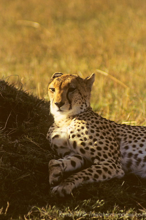 Africa, Kenya, Maasai Mara. A cheetah, the fastest land animal, looks anything but fast while resting in the Maasai Mara sun.