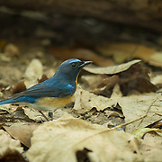 Tickell's blue flycatcher (Cyornis tickelliae) in Kaeng Krachan Nationlal Park, Thailand.
