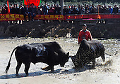 Ox Fighting Competition