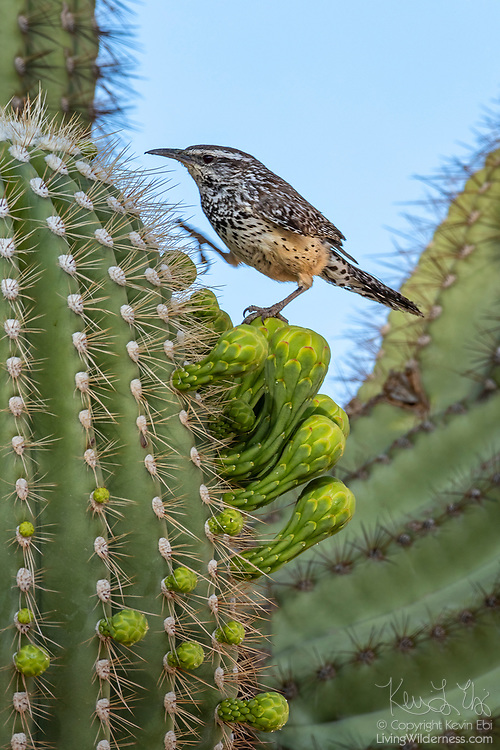 A cactus wren (Campylorhynchus brunneicapillus) climbs on the buds of a saguaro in the Sonoran Desert near Chandler, Arizona. A single saguaro can produce 100 blooms in a single season, but the flowers are very short lived, lasting just over 24 hours.