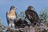 Juvenile ferruginous hawks on nest, fully grown and ready to fledge, © 1990 David A. Ponton