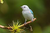 Birds Latin America