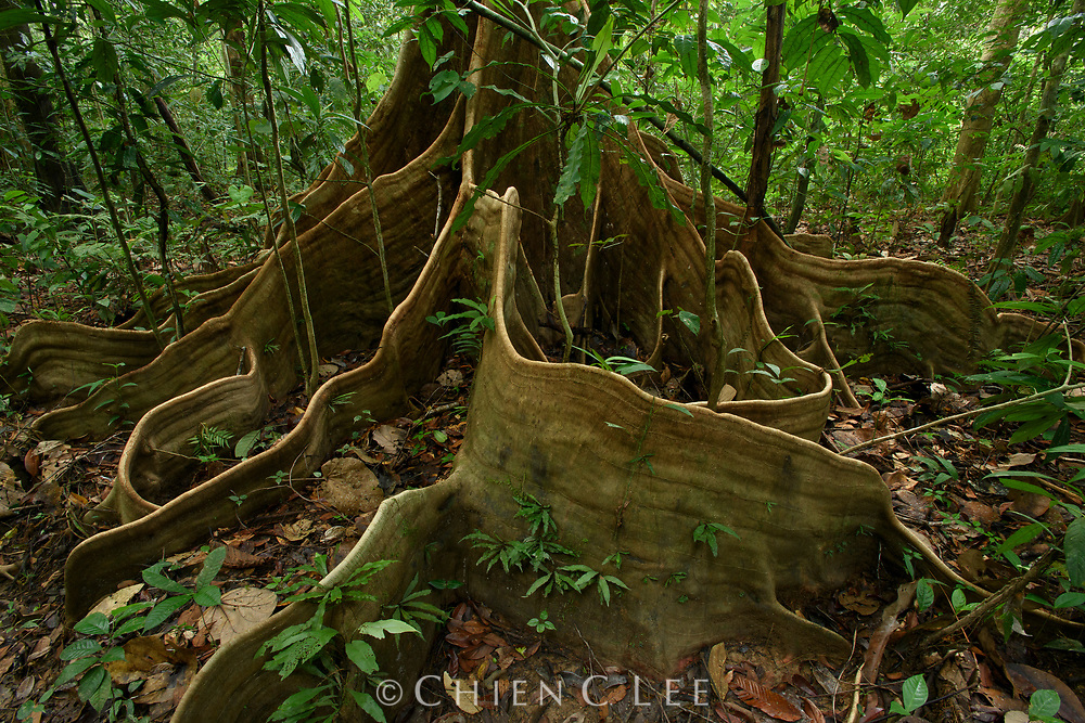 Bornean rainforest trees generally have relatively shallow root systems because moisture is abundant and nutrients are most available near the surface of the soil. Reinforcement of tree's stability is provided in some species by conspicuous root buttresses. Sarawak, Malaysia.
