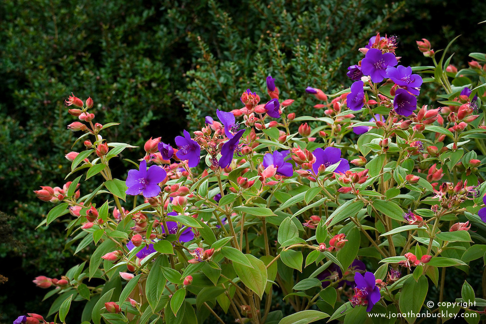 Tibouchina urvilleana, Princess Flower