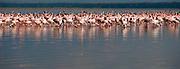 Lesser Flamingoes (Phoenicopterus minor) in Lake Nakuru, Kenya.
