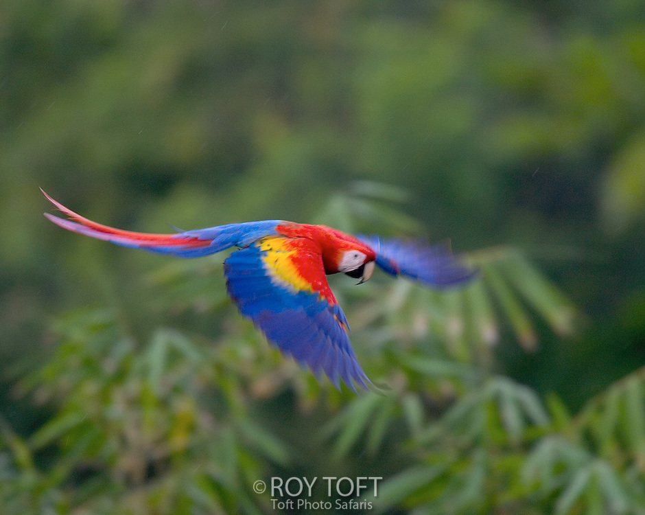 Scarlet macaw (Ara macao) in flight, wings extended, Osa Peninsula, Costa Rica.