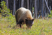 A grizzly bear (Ursus arctos) feeds on berries in a meadow on Chief Mountain, located in Glacier National Park, Montana.
