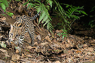Ocelot (Leopardus or Felis pardalis: Felidae) caught with infrared triggered camera - male<br /> COSTA RICA<br /> Corcovado National Park<br /> Sirena Biological Station<br /> 22-Feb-2007<br /> J.C. Abbott &amp; K.K. Bauer