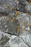 Xanthoria sp. lichen on the rocks of Eastern Head, Isle au Haut, Maine.