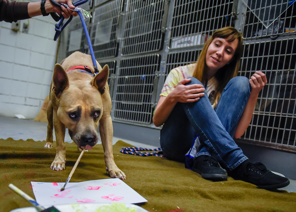 rer071017d/metro/July 10, 2017/Albuquerque Journal<br /> Artists are going to be using the paw prints of shelter pets to create new pieces, which will appear alongside the pets at an adoption event. This past Monday some animals at the shelter began getting their paw prints on canvases.  Pictured is animal handler Cassie Crenshaw(Cq) with June a Pit Bull mix that has been at the shelter since last June.<br /> Albuquerque, New Mexico Roberto E. Rosales/Albuquerque Journal