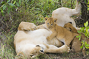 Lion<br /> Panthera leo<br /> Mother and playful 5-6 week old cubs in den<br /> Masai Mara Reserve, Kenya