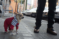 A dog is dressed up in style as it's owner takes it for a walk in downtown Rome, Italy