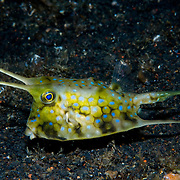 Longhorned cowfish Lactoria cornuta at Lembeh Straits, Indonesia.