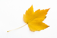 A yellow Sugar maple (Acer saccharum) leaf showing fall foliage colours on a white background