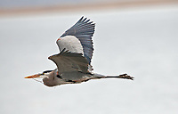 Great Blue Heron in flight taking branches back to its nesting site.