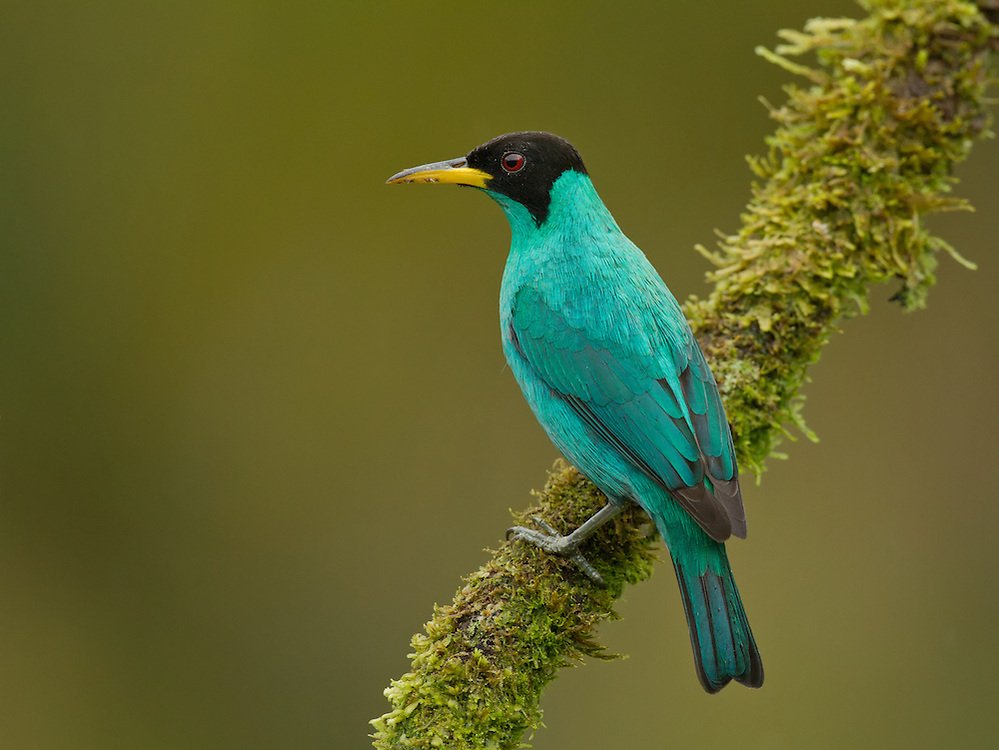 Male Green Honeycreeper (Chlorophanes spiza), sitting on a branch in Costa Rica.