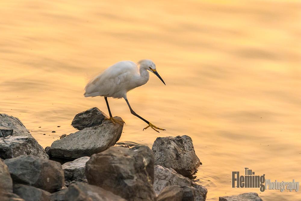 Snowy egret foraging on the shoreline, Las Gallinas Valley Sanitary District, Marin county, CA