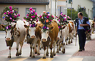Cows decorated with flowers are paraded through the streets of a village in the canton of Fribourg, Switzerland as part of the annual Désalpe festival.  It is a traditional event that takes place when cows are moved to the lowlands after spending the summer in higher, mountain pastures.  The herds are decorated with flowers and bells and are paraded through the streets of villages along the way.