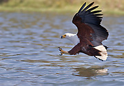 African Fish Eagle, Haliaeetus vocifer, from Lake Naivasha, Kenya.