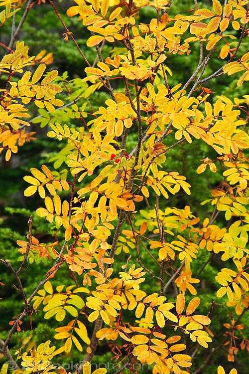 Autumn Cascades Mountain Ash (Sorbus scopulina) Takh Takh Meadow, Gifford Pinchot NF, WA, USA