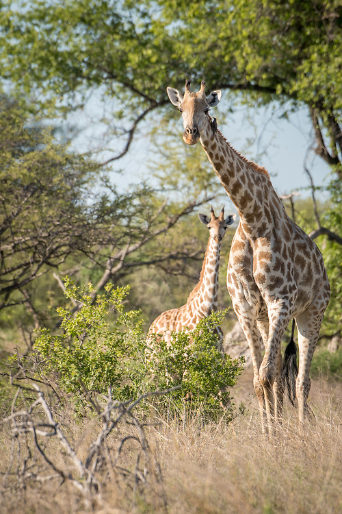 A mother giraffe in the savanna of Zimbabwe stands closely alongside her young calf in Hwange National Park. Hwange, Zimbabwe