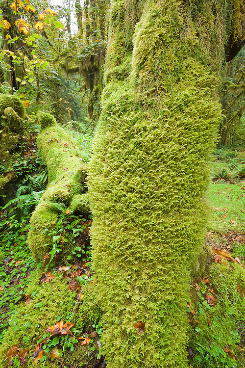 Moss covered logs in the Hoh rain forest, Olympic National Park, Washington