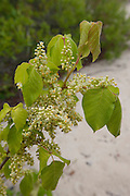 Poison Ivy; Toxicodendron radicans; flowers;  Higbee Beach WMA; NJ, Cape May