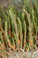 PERENNIAL GLASSWORT Sarcocornia perennis (Chenopodiaceae) Height to 30cm. Branched and patch-forming succulent perennial with woody lower stems that turn orange with age. Entirely coastal; restricted to drier reaches of saltmarshes. FLOWERS are small and yellow (Aug-Oct). FRUITS are minute; appear at stem junctions, in 3s, the central one largest. LEAVES are small, paired and fleshy. STATUS-Local in S and E England, and S Wales.