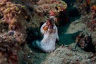 Octopus-Poulpe (Octopus vulgarus) of Méditerranée.
