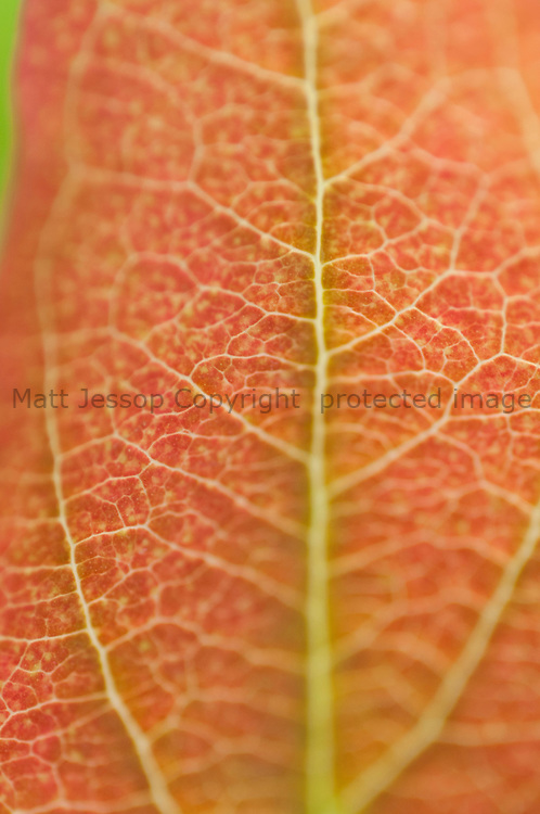 Red leaf and veins
