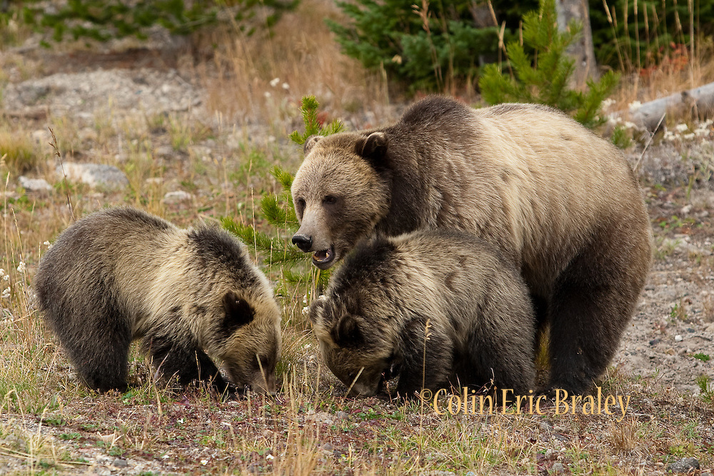 A Grizzly Bear (ursus horibilis) and her two cubs forage for food along a tree line during a cold autumn day in Yellowstone National Park.  Colin E Braley (Wild West-Media)