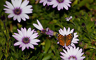 A painted lady butterfly visits some Shasta daisies in Livermore, Calif., on Saturday, March 3, 2012. (© 2012 Cindi Christie/Cyanpixel Photography)