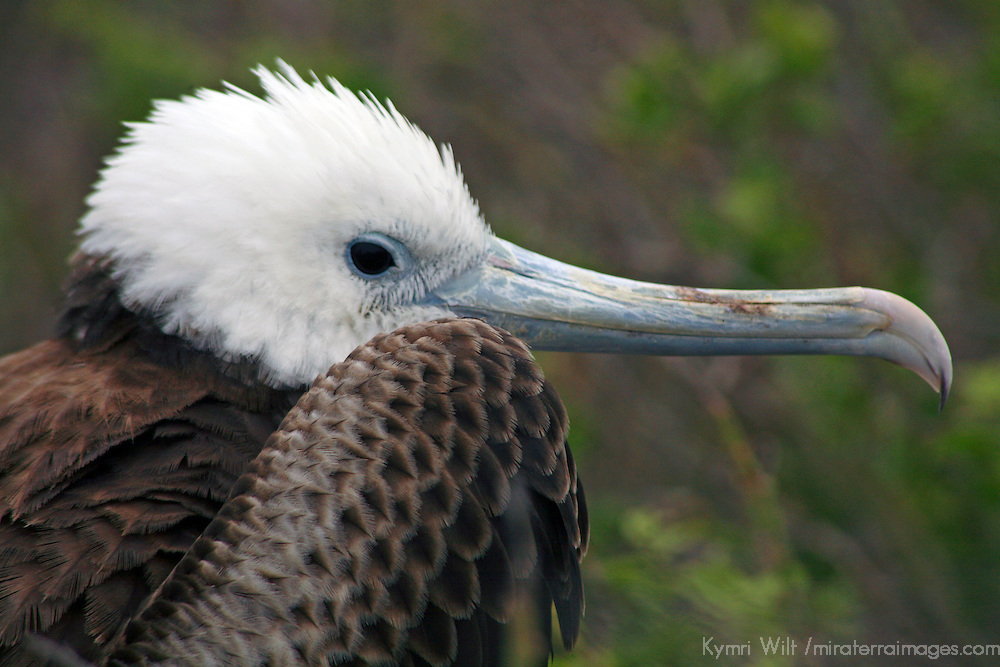 South America, Ecuador, Galapagos Islands. A frigatebird chick sits in it's nest in the colony on North Seymour island in the Galapagos.