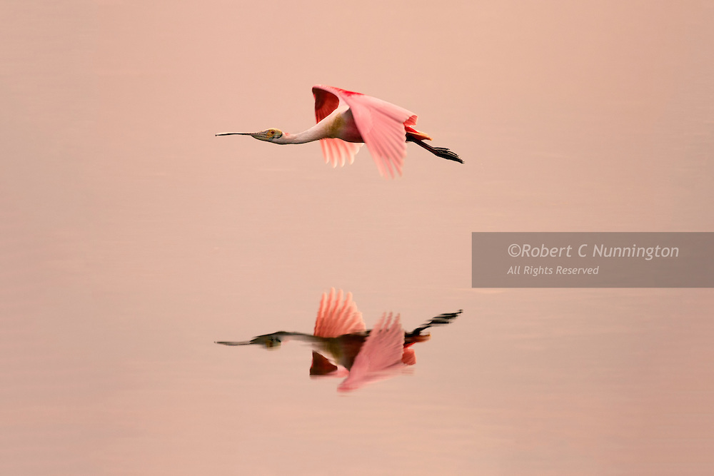 Roseate Spoonbills (platalea ajaja) are colorful wading birds and popular with bird watchers and photographers. Their pink color is a result of ingesting carotenoid pigments from their diet. In the United States they are found along the Gulf coast and the Eastern Seaboard of Florida.