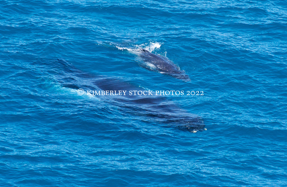 A humpback whale calf swims on the surface as its mother swims just under the surface.
