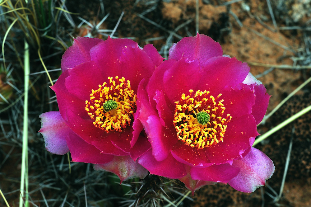 A pair of brilliantly colored Plains Prickly Pear Cactus blooms. The vivid magenta color is less common than the yellow.