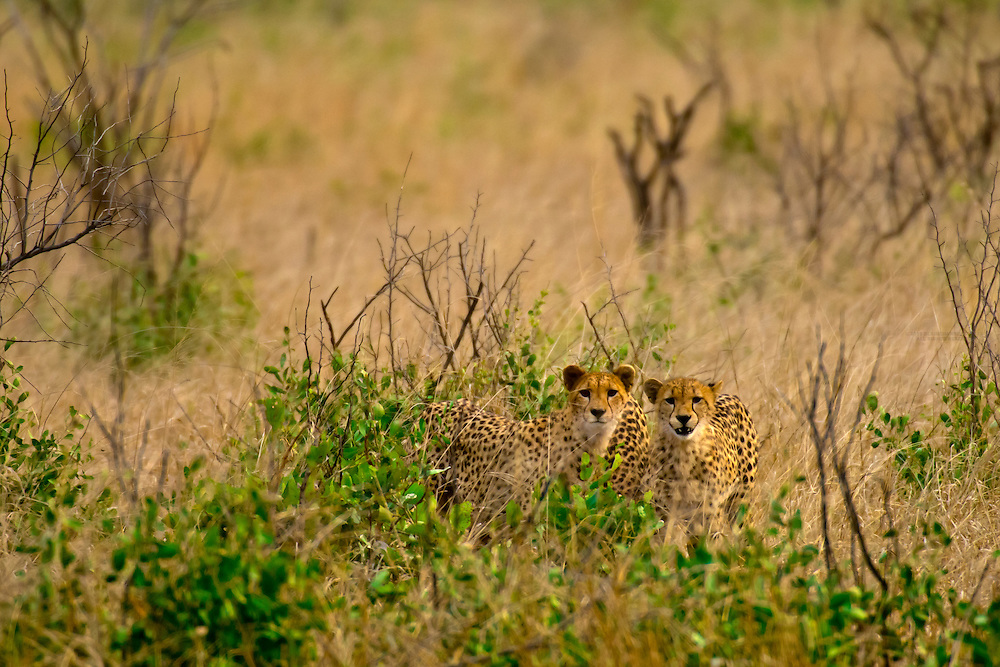 Cheetahs, Kruger National Park, South Africa