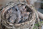 Nederland, Ubbergen, 8-4-2014 Merels in onze tuin hebben hun eerste broedsel gelegd. Natuur van slag door zachte maar mooie voorjaarsweer. De eitjes zijn uitgekomen en er liggen drie kuikens die inmiddels zo groot zijn dat zij spoedig uitvliegen. Foto: Flip Franssen/Hollandse Hoogte