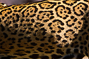 Canaa dos Carajas_PA, Brasil.<br /> <br /> Floresta Nacional de Carajas em Canaa dos Carajas Para. Na foto Onca-Pintada (Panthera onca).<br /> <br /> The Carajas National Forest, Para. In this photo a jaguar (Panthera onca).<br /> <br /> Foto: JOAO MARCOS ROSA / NITRO