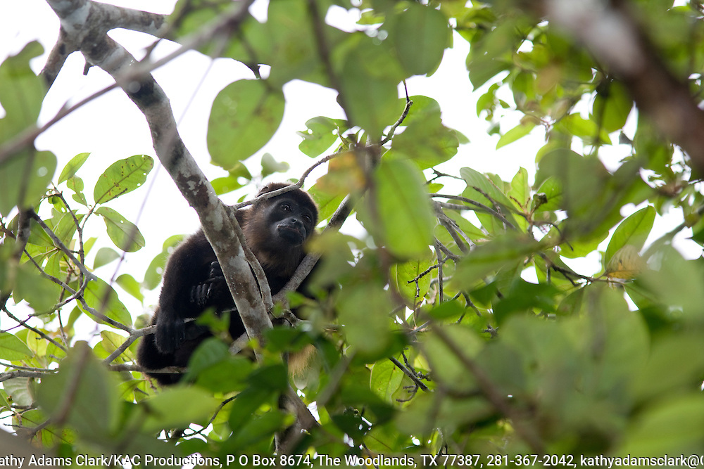 Mantled howler monkey, allouata palliata, called congo or Mono negro in spanish, lionlike roar, most common monkey in Costa rica, Southern Costa Rica, Osa Peninsula,