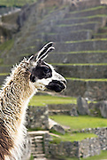 PERU, MACHU PICCHU:  LLama at Machu Picchu with ancient Inca terraces in the background. Machu Picchu is a pre-Columbian Inca site located 2,430 metres (8,000 ft) above sea level. It was built around 1460 AD but was abandoned as an official site for the Inca rulers a hundred years later, at the time of the Spanish conquest of the Inca Empire.
