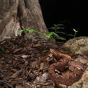Malayan Pit Viper (Calloselasma rhodostoma) in Kaeng Krachan district, Thailand