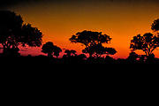 African Sunset with Acadia trees in Silhoutte, Satara Camp, Kruger National Park